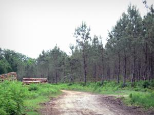 Gascon Landes Regional Nature Park - Path, woodpile and pine forest