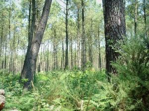 Gascon Landes Regional Nature Park - Undergrowth of a pine forest