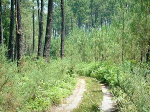 Gascon Landes Regional Nature Park - Path through a pine forest
