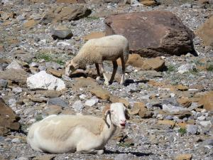 Gavarnie cirque - Sheep (rams) roaming free within the natural amphitheater, stones and rocks; in the Pyrenees National Park