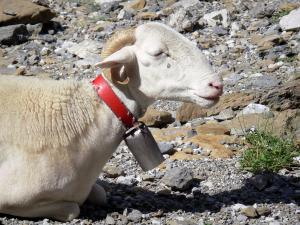 Gavarnie cirque - Ram (sheep) with a bell; in the Pyrenees National Park