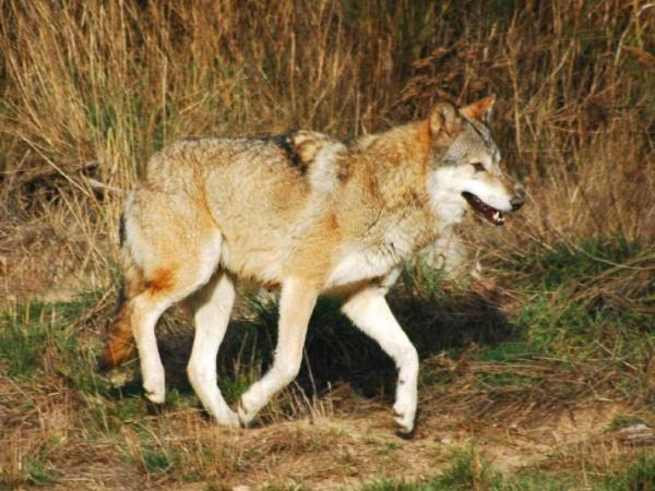 Gévaudan Wolf Park - Tourism, holidays & weekends guide in the Lozère