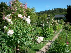 Giverny - Monet's garden: blooming roses in the Norman enclosure