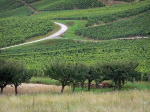 Jura vineyards - Trees, fields and road lined with vineyards