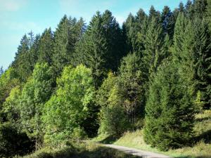 Landscapes of the Ain - Fir tree road in Upper Bugey