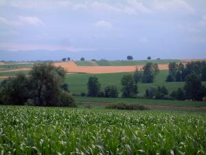 Landscapes of Alsace - Corn, trees, fields and hills in background