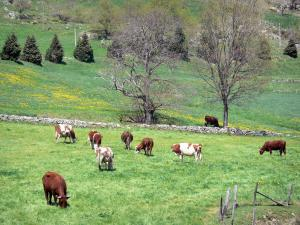 Landscapes of the Ardèche - Regional Natural Park of the Ardèche Mountains: herd of cows in a blooming meadow