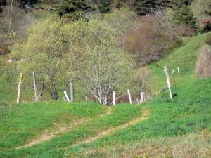 Landscapes of the Ardèche - Regional Natural Park of the Ardèche Mountains: trees near a path lined with meadows