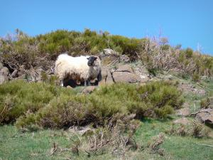 Landscapes of the Ardèche - View of a ram with black head and white body