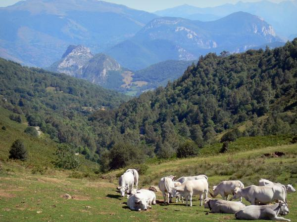 Landscapes of Ariège - Cows in mountain pastures in the foreground with a view of the Pyrenees; in the Ariège Pyrenees Regional Nature Park