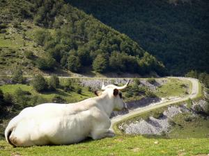 Landscapes of Ariège - Cow lying in a meadow and watching a mountain road; in the Ariège Pyrenees Regional Nature Park