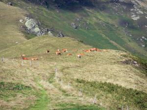 Landscapes of Ariège - View of a herd of cows in mountain pastures from the Col de la Core pass; in the Ariège Pyrenees Regional Nature Park
