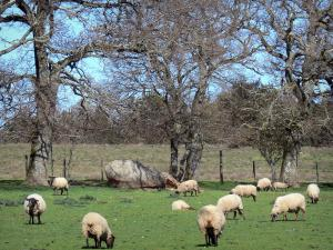 Landscapes of the Aude - Sheep in a meadow surrounded by trees