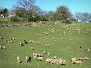 Landscapes of the Aude - Flock of sheep in a meadow