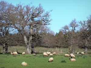 Landscapes of the Aude - Flock of sheep in a meadow surrounded by trees