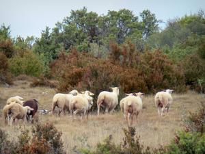 Landscapes of Aveyron - Causse du Larzac, in the Grands Causses Regional Nature Park: flock of sheep