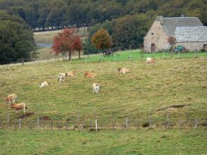Landscapes of Aveyron - Aubrac plateau: herd of cows in a meadow, stone house and trees