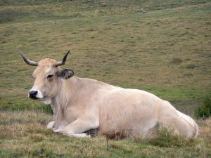 Landscapes of Aveyron - Aubrac cow resting in a pasture of Aubrac