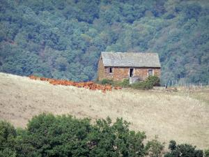 Landscapes of Aveyron - Herd of cows in a meadow near a stone barn