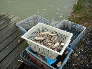 Landscapes of the Brittany coast - Fresh oysters in their baskets