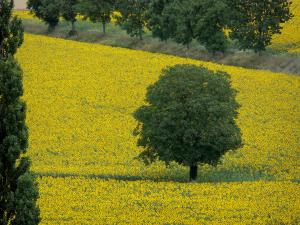 Landscapes of Burgundy - Tree in a field of sunflowers