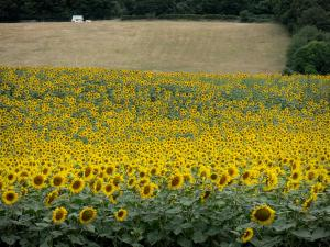 Landscapes of Burgundy - Field of sunflowers and pasture