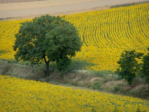 Landscapes of Burgundy - Tree in the middle of sunflower fields