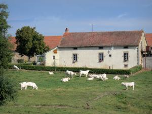 Landscapes of Burgundy - Charolais cows in a pasture close to a farm