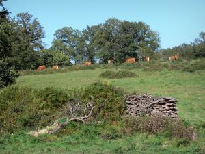 Landscapes of the Charente - Herd of cows in a meadow, shrubs and trees