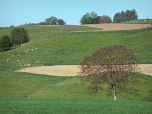 Landscapes of Dauphiné - Pasture, herd of cows, fields and trees