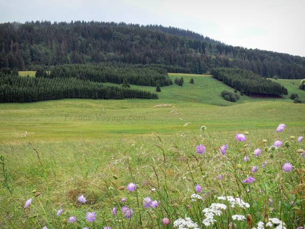 Landscapes of the Doubs - Mouthe valley: wild flowers in foreground, alpine pastures (high mountain pasture), spruces (trees) and forest