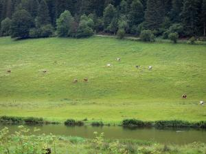Landscapes of the Doubs - Herd of cows in a prairie along a river