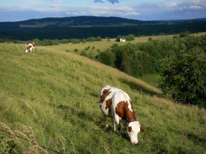Landscapes of the Doubs - Montbéliardes cows in a meadow