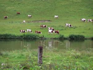 Landscapes of the Doubs - Herd of Montbéliardes cows in a prairie along of a river, fence of a field in foreground