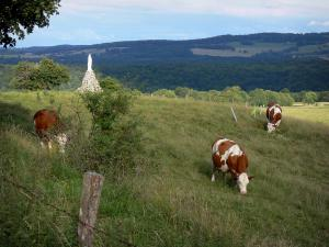 Landscapes of the Doubs - Montbéliardes cows in a prairie, hills in background