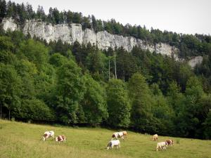 Landscapes of the Doubs - Herd of cows in a meadow, trees and rock faces