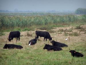 Landscapes of the Gard - Gard Camargue (Little Camargue): black bulls and cattle egrets (white birds) in a meadow, reed  in the background