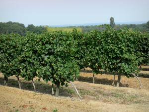 Landscapes of the Gascony - Vineyards of Armagnac