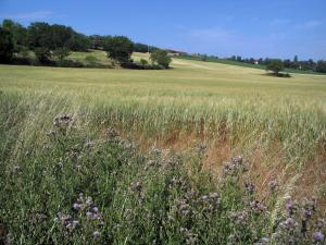 Landscapes of the Haute-Garonne - Wild flowers in foreground, wheat field and trees, in the Lauragais