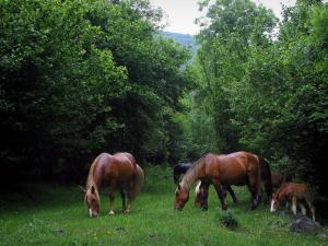 Landscapes of the Haute-Garonne - Horses and foal in a prairie, and trees