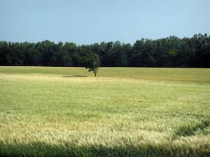 Landscapes of the Haute-Garonne - Tree in a wheat field, in a Lauragais