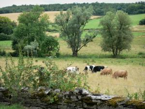 Landscapes of the Haute-Marne - Stonewall in the foreground, cows in a pasture, and trees