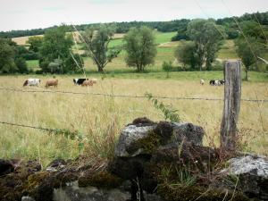 Landscapes of the Haute-Marne - Fence of a pasture, herd of cows, and trees