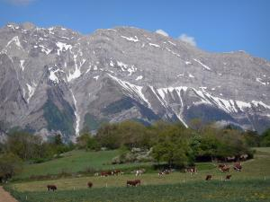 Landscapes of the Hautes-Alpes - Herds of cows in a meadow, trees and a mountain