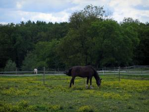 Landscapes of the Indre-et-Loire - Two horses in a prairie dotted with wild flowers and trees in background
