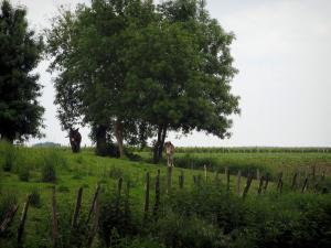 Landscapes of the Indre-et-Loire - Two asses in a prairie and trees