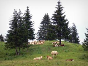Landscapes of Jura - Herd of cows in a meadow (alpine pasture), spruces; in the Upper Jura Regional Nature Park