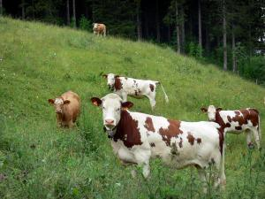 Landscapes of Jura - Cows in a meadow (alpine pasture ), in the Upper Jura Regional Nature Park