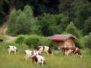 Landscapes of Jura - Herd of cows in a prairie, hut, road and trees