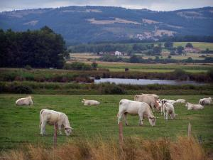 Landscapes of Loire - Charolais cows in a meadow, lake, trees and houses of the Forez plain, Forez mountains in background